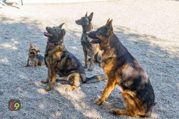 Asesoramiento de elección de razas - Escuela Canina K9 Málaga