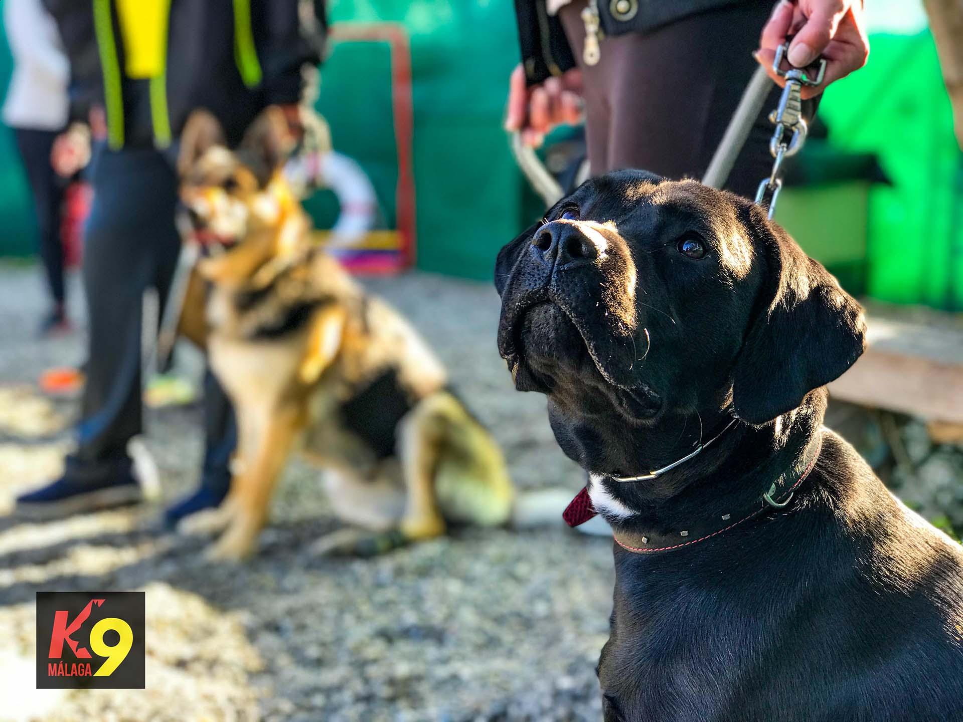 k9-malaga-clases-grupales-adiestramiento-canino